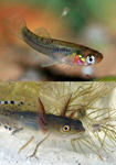 Interactions between mosquitofish and native newts