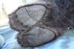 Why brown bears have smelly feet
