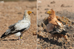 Red mud as makeup in the Egyptian vultures