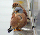 Wind and temperature determine Lesser kestrels selection of hunting strategy