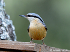 Condition-dependence of pheomelanin-based coloration in nuthatches Sitta europaea suggests a detoxifying function: implications for the evolution of juvenile plumage patterns