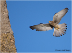 Genetic favouring of pheomelanin-based pigmentation limits physiological benefits of coloniality in lesser kestrels Falco naumanni