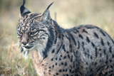 Spatiotemporal dynamics of genetic variation in the Iberian lynx along its path to extinction reconstructed with ancient DNA