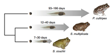 Accommodation of developmental plasticity explains adaptive divergence among spadefoot toads
