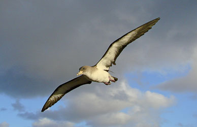 Geographic isolation, key to the absence of parasites of avian malaria in Cory's shearwater