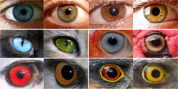 Intraspecific eye color variability in birds and mammals: a recent evolutionary event exclusive to humans and domestic animals