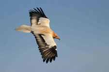 Stakeholders perceptions of the endangered Egyptian vulture: insights for conservation
