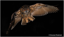 Feather content of porphyrins in Eurasian eagle owl fledglings depends on body condition and breeding site quality