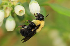 The importance of bee diversity for crop pollination