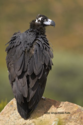 Liberalization of the Common Agricultural Policy could affect Cinereous vulture