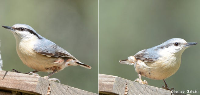 Females mate with males with diminished pheomelanin-based coloration in the Eurasian nuthatch Sitta europaea