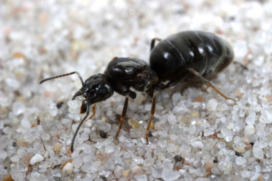 Current knowledge on the physiological and molecular effects of Queen pheromones in ants