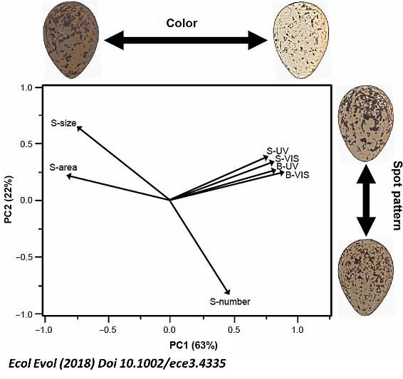 Avian eggshells coping with solar radiation