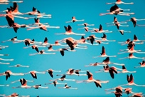Dynamic signalling in the greater flamingo
