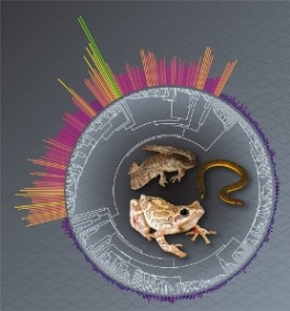 Macroevolutionary shift in the size of amphibian genomes and the role of life history and climate
