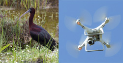 Drone monitoring of breeding waterbird populations