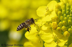 Adaptation to high-altitude habitats in the Eastern honey
