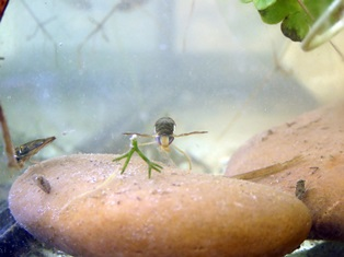 Water boatman survival and fecundity are related to ectoparasitism and salinity stress