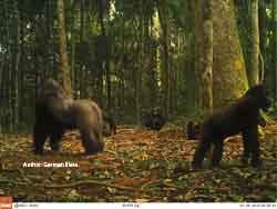 From groups to communities in western lowland gorillas
