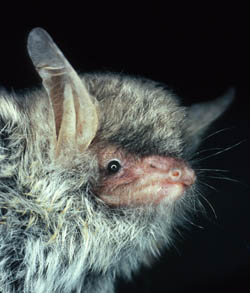 A new species of bat was hiding in our forests
