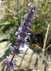Honeybees disrupt the structure and functionality of plant-pollinator networks