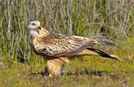 Protected areas under pressure: the red kite in Doñana National Park