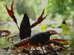 Identified the main introduction routes of the red swamp crayfish Procambarus clarkii during its global-scale invasion