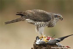 Pheomelanin synthesis varies with protein food abundance in developing goshawks