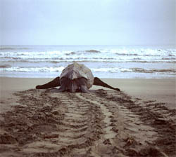 Effects of climate change on sea turtles nesting