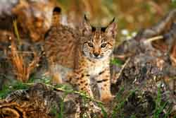 Genetic evaluation of the Iberian lynx ex situ conservation programme