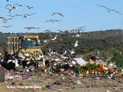 From landfills to lakes: gulls as transporters of nutrients