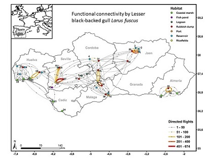 The functional connectivity network of wintering gulls links seven habitat types, acting ricefields as the central node