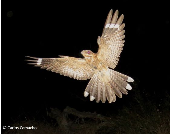 Nocturnal birds could communicate through the fluorescence of their feathers