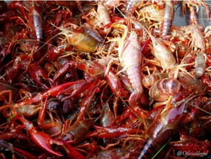 One century of crayfish invasions