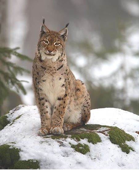 Human impact has contributed to the decline of the Eurasion lynx