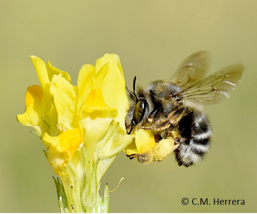 Honeybee colonies have increased exponentially in the Mediterranean Basin