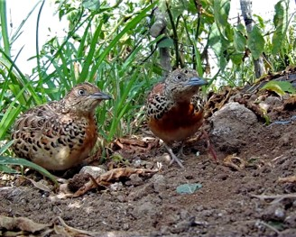 The extinction of the Andalusian Buttonquail