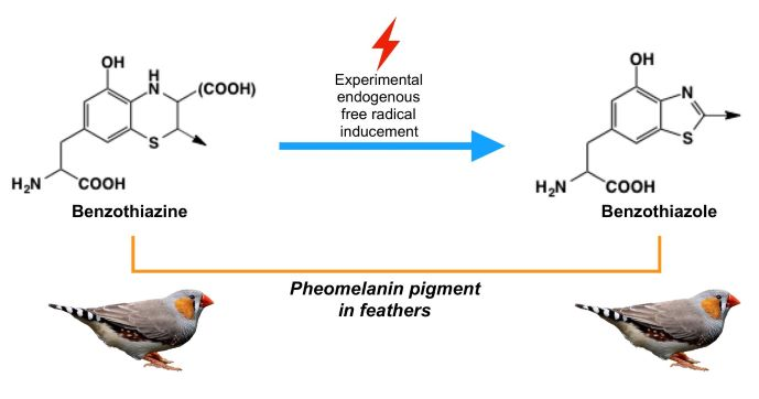 Increase of the benzothiazole moiety content of pheomelanin pigment after endogenous free radical inducement