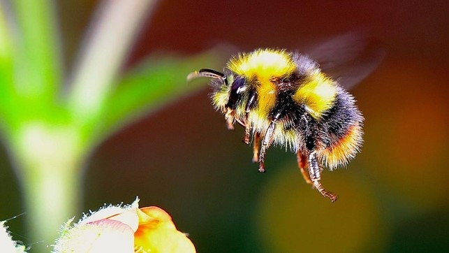 Generalized hybridization between commercial and native individuals of bumble bees
