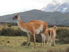 The total population of guanacos could double current estimates