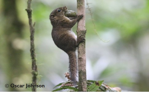 Deep genetic divergences between the lowland Sunda tree squirrels