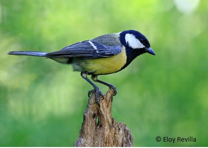Argentine ants harm nestlings of the blue tit