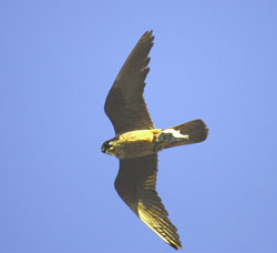 The Atlantic trade winds regulate the arrival of migratory birds to the Canary Islands and the reproduction of falcons