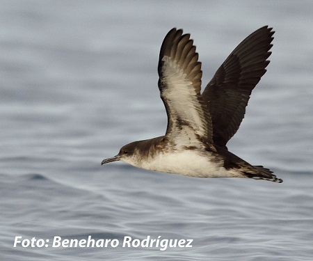 A new subspecies of Manx shearwater to the Canary Islands