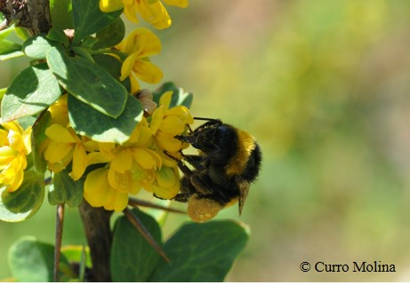 Combined effects of global change on bumblebees