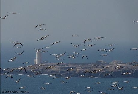 Oversea migration of white storks through the water barriers of the straits of Gibraltar