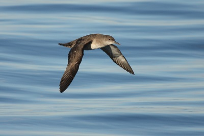 Where to head: environmental conditions shape foraging destinations in a critically endangered seabird