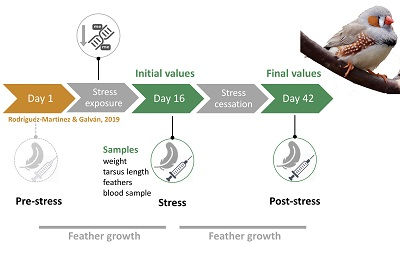 Slc7a11 downregulation is rapidly reversed after cessation of competitive social stress in zebra finches