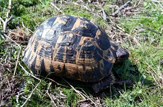 The ICTS-EBD collaborates on a project to study the effects of Greek tortoise hybridization in Doñana
