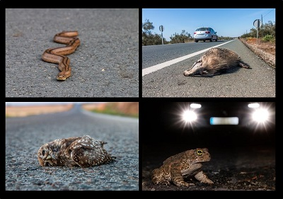 A new citizen science project to assess the wildlife road mortality in Spain